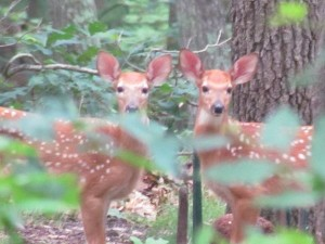 Bambi x 2 !!!