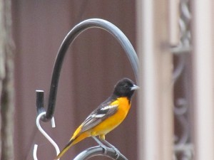 Beautiful Oriole