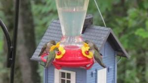 humming_birds